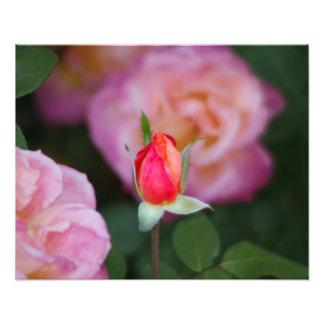 Pink Rose Bud Flower Photograph