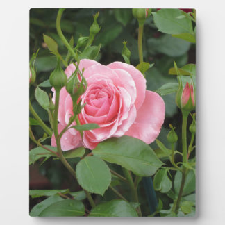 Pink rose flowers with water droplets in spring display plaques