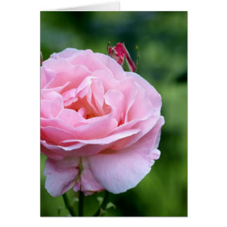Pink rose in full bloom with buds greeting card
