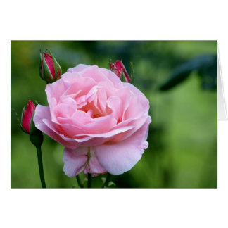 Pink rose in full bloom with buds card
