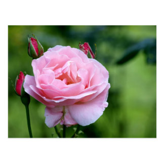 Pink rose in full bloom with buds postcard