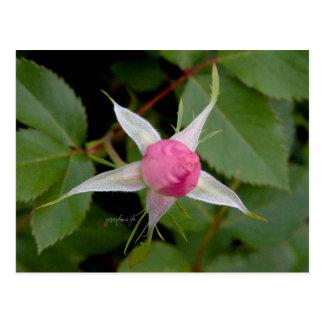 Pink Rose jjhelene Postcard Design