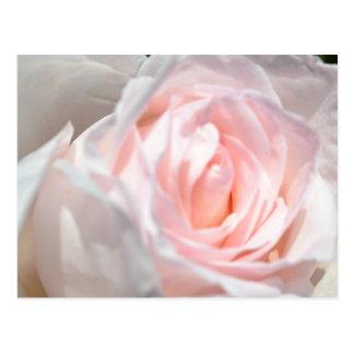 Pink Rose Macro Postcard