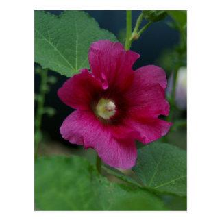 Pink Rose of Sharon Postcard