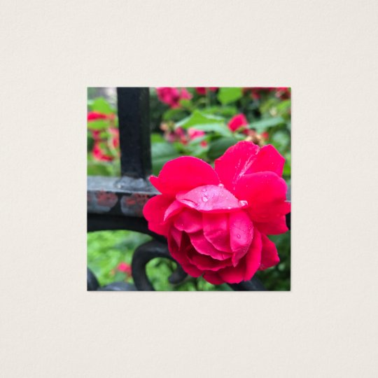 Pink Rose Raindrops Dew Garden Gate Photo Square Business Card
