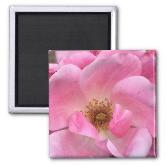 Pink Rose Square Magnet