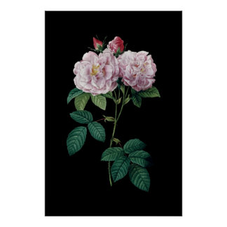 Pink roses of Redoute black background poster