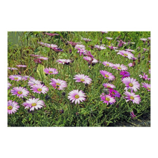 Pink South African Daisies Poster Print