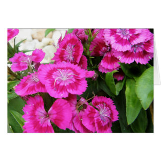 Pink Sweet Williams (Dianthus) Greeting/Note Cards