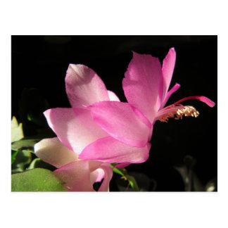 Pink Thanksgiving Cactus Flower Postcard