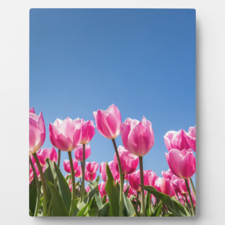 Pink tulips field with blue sky plaque