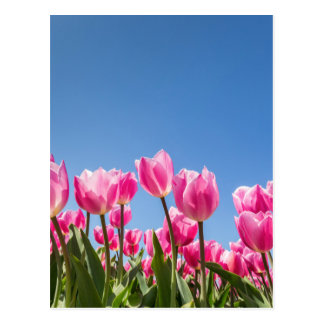 Pink tulips field with blue sky postcard