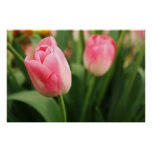 Pink tulips - Poster