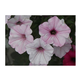 Pink Vein Shockwave Petunias Acrylic Wall Art
