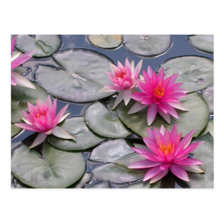 Pink Water Lilies Postcard