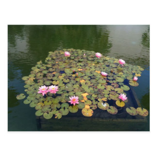 Pink water lilies postcard