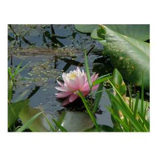 Pink Water Lily Coordinating Items Postcard