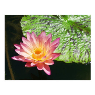 Pink Water Lily in a pond Postcard
