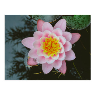Pink water lily post card
