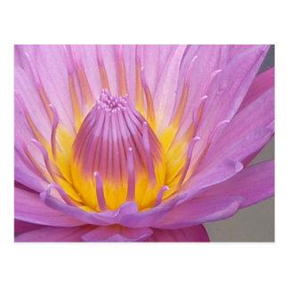 Pink Waterlily Postcard