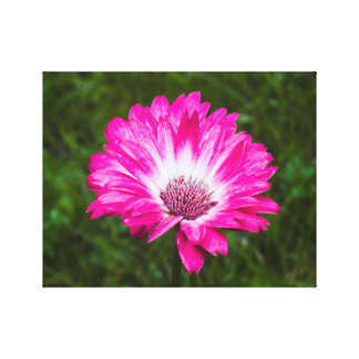 Pink & White Gerbera Daisy in Bloom Gallery Wrapped Canvas