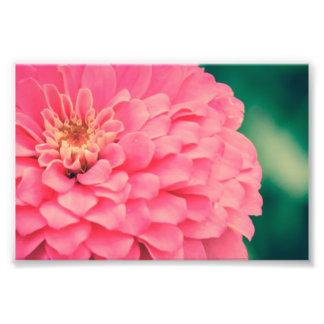Pink Zinnia Photo Print