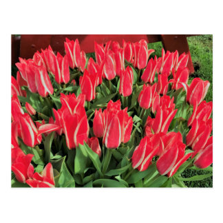 Pinocchio Tulips Postcard