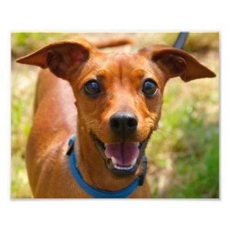 Pinscher Smiling Blue Collar Dog Photo Art