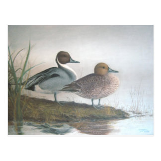 Pintail Ducks Postcard