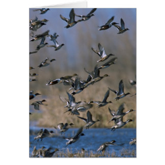 Pintails in Flight Card