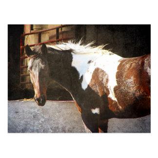 Pinto Horse Postcard