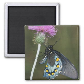 Pipevine Swallowtail, Battus philenor, adult on Square Magnet
