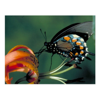 Pipevine Swallowtail Butterfly on Turk's cap lily Postcard