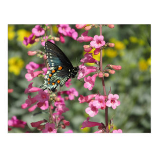 Pipevine Swallowtail Butterfly Postcard