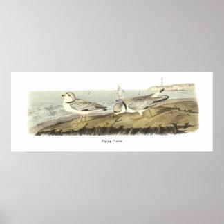 Piping Plover John Audubon Poster