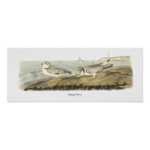 Piping Plover, John Audubon Poster