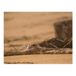 Piping Plover Postcard