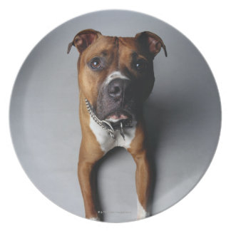 Pit Bull Terrier Lying Down Plate