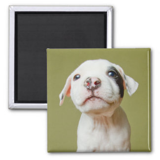 Pit Bull With Black Spotted Eye Square Magnet