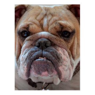 Pitbull Dog Animal Postcard