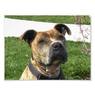 Pitbull dog photo