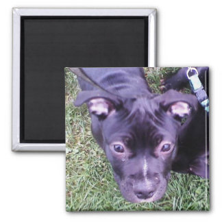 Pitbull Puppy Square Magnet