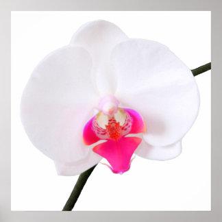 PixDezines phalaenopsis dorne/white orchid Poster