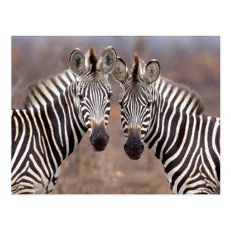 Plain Zebras, Kruger National Park Postcards