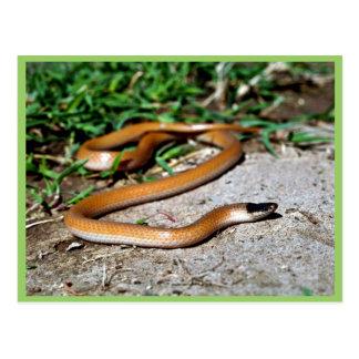 Plains Black-headed Snake Post Cards