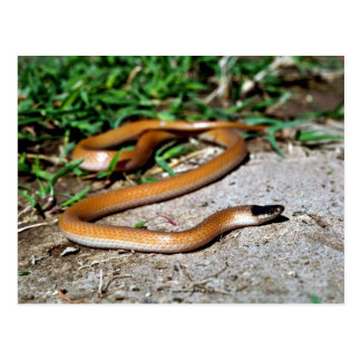 Plains Black-headed Snake Postcard