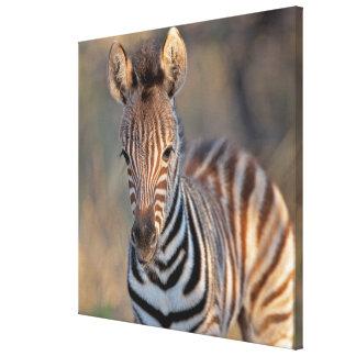 Plains zebra (Equus quagga) foal, Mkhuze Game Stretched Canvas Prints