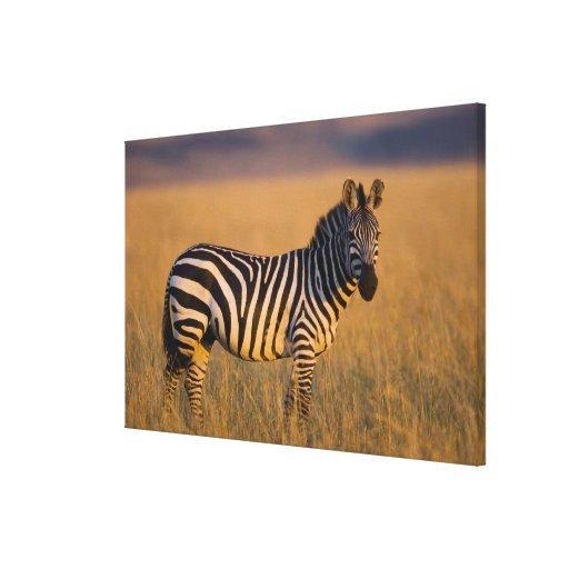 Plains Zebra Equus quagga) in grass, Masai Canvas Prints