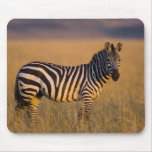 Plains Zebra Equus quagga) in grass, Masai Mouse Pad