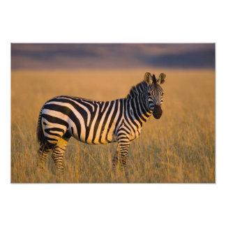 Plains Zebra Equus quagga) in grass, Masai Photographic Print